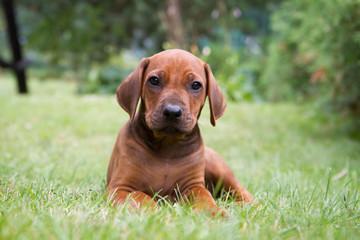Rhodesian ridgeback puppy outside in the grass.
