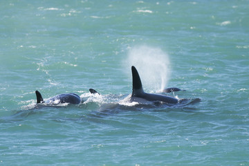 Orca Family, Patagonia Argentina