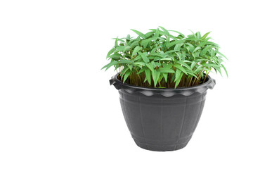 young plants in pot isolate on white background
