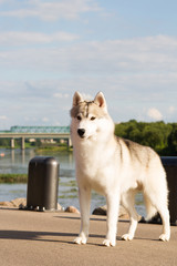 Siberian husky standing in the city background.