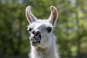 Goofy lama pulling face. Funny llama animal sticking tongue out
