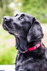 Black English Labrador