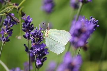 weißer Falter am Lavendel