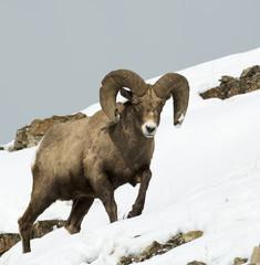 Bighorn Sheep in the Snow