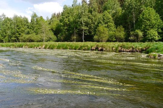Weiß blühender Fluss (Pfreimd) in der Oberpfalz.