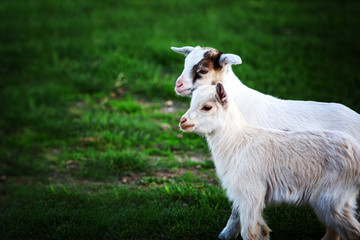 two white baby goats on green grass