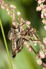 Macrofotografia di un insetto Machimus atricapillus