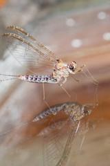 Macrofotografia di un insetto Cloeon dipterum