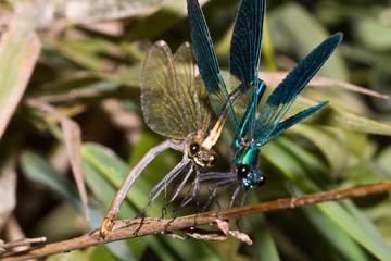 Macrofotografia di un insetto Calopteryx splendens