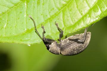 Macrofotografia di un insetto Otiorhyncus singularis