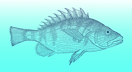 Painted comber (serranus scriba) in profile view on a blue-green gradient background (after a historical or vintage woodcut illustration from the 16th century). Easy editable in layers