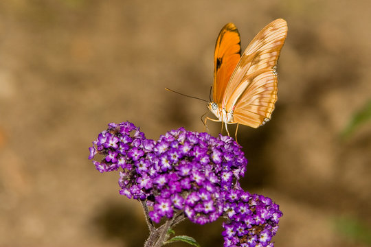 Macrofotografia di un insetto Dryas iulia