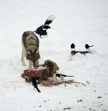 Wolf Eating Dead Animal