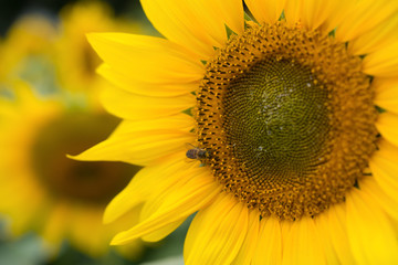 blooming sunflower close up on field