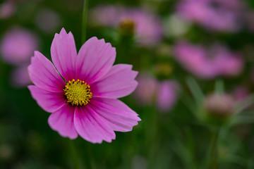 macro of beautiful daisy or Cosmos bipinnata Cav in the field