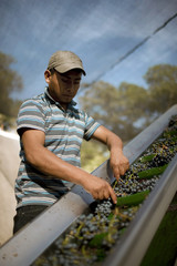 Man sorting grapes for winemaking.
