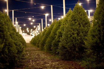 Lit-up Christmas tree farm at night.