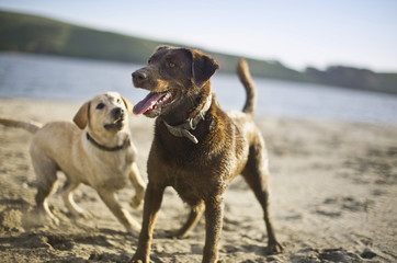 Two dogs playing together on beach.