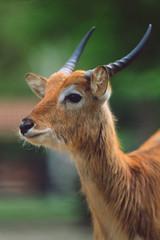 Kobus leche - Antilope lichi