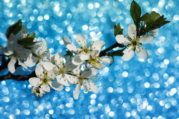 beautiful branch of blooming white cherry blossom on shiny Sunny festive blue background