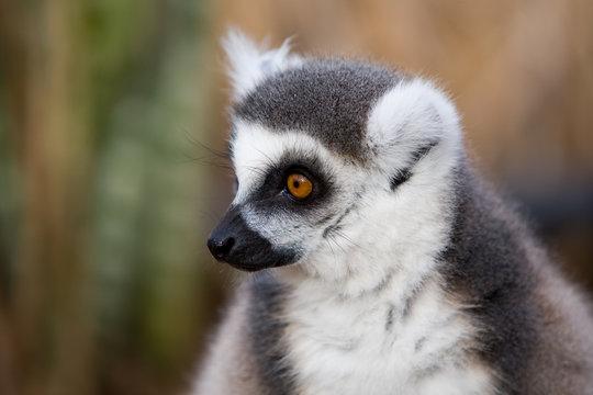 Lemur catta - Lemure catta
