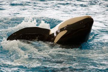 Orcinus orca - Orca