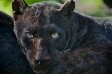Panthera pardus melas - Leopardo di Giava (melanico)