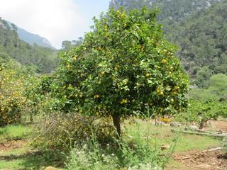 Lemon tree in mountains
