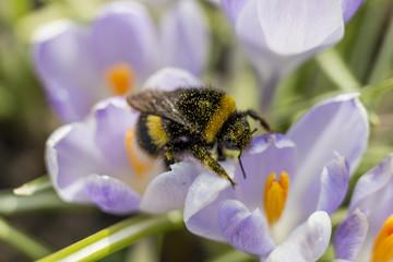 Bumblebee in crocus. Spring, primroses.