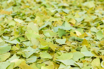 Green ginkgo leaves lie on the ground after a hard frost in the fall.