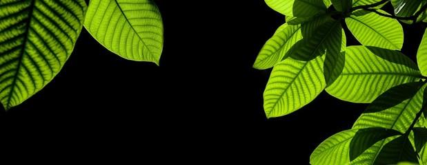 Fototapete - green leaves isolated on black background