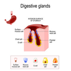 Structure of a Digestive gland
