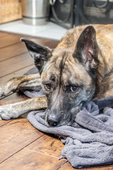 sleepy dog looks while resting on floor and gray cloth