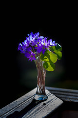 Hepatica purple flowers with fallen petals in a small glass vase on dark background.