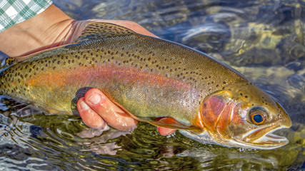 Lees Ferry Arizona Rainbow trout released back to the river