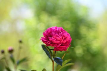 """Peony Baby""  fuchsia peony flower in full bloom in the garden"