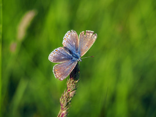 Common blue butterfly (Polyommatus Icarus) female