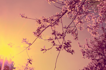 Cherry blossoms and sun rays. Vintage effect. Romantic spring background.