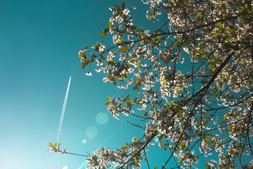 Airplane in the blue sky and cherry blossoms. Lifestyle, adventure and romantic concept.