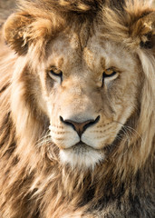Fototapete - Beautiful and mighty lion's mane