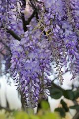 Violet wisteria flower