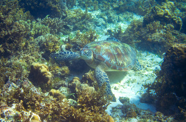 Sea turtle on seabottom with corals. Green sea turtle closeup. Wildlife of tropical coral reef. Tortoise undersea.