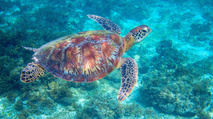 Sea turtle in tropical lagoon. Green sea turtle closeup. Wildlife of tropical coral reef.