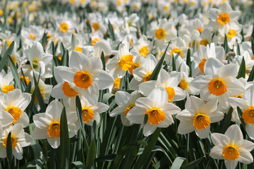 Large group of blooming white daffodils on flowerbed. Cultivars from Large-cupped Group with white petals and central yellow corona