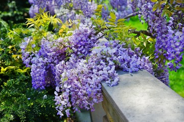 Purple wisteria flowers in bloom hanging from the vine