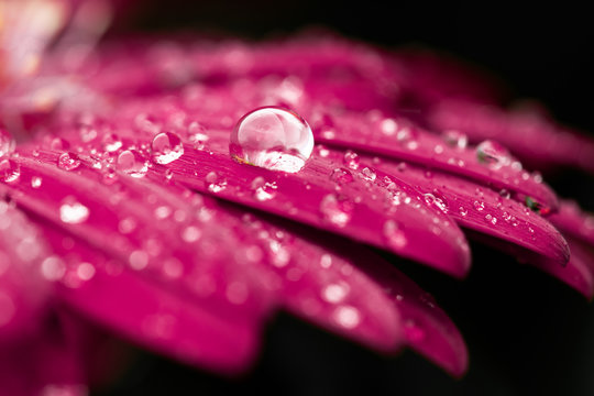 Macro Flower Water Drop Pink