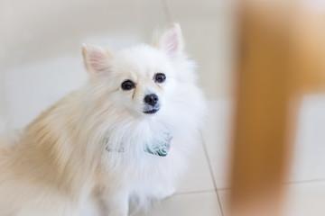 cute white pomeranian dog