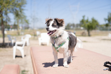 Australian Shepherd mix puppy at park on table