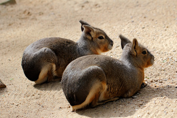 Two Patagonian Cavy Maras