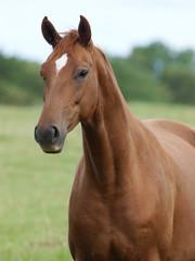 Chestnut Horse Head Shot